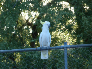 Friendly cockatoo