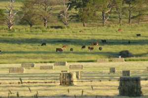 Hay bales and cows