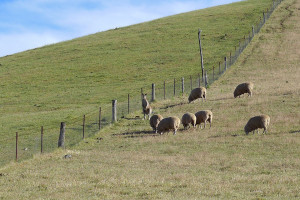 Kangaroo and sheep