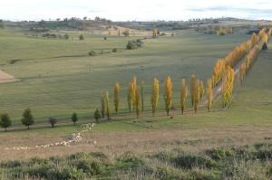 Poplar tree drive